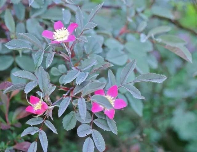 ROSA GLAUCA PERENNIAL PLANTS 30 SEEDS PER PACK