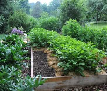 Raised bed of potato plants