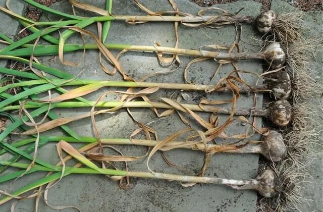 garlic just harvested