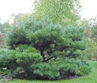 beloved conifer: my not-so-dwarf-now white pines