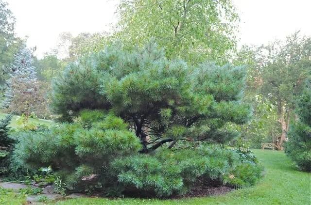dwarf white pine