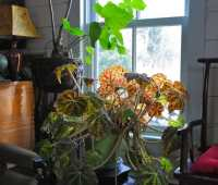 tucked in with my begonias: a recap of their care