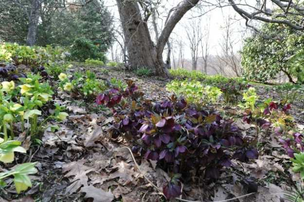 hellebores-under-apples