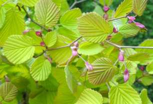 new-gold-corylopsis