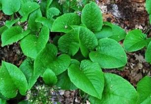 trachystemon-foliage