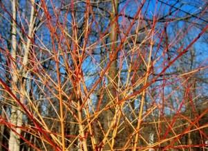 coral-cornus-winter-flame
