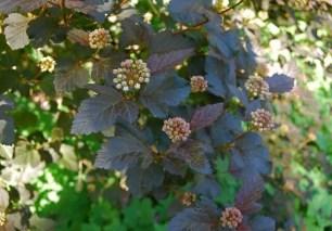 physocarpus-diabolo