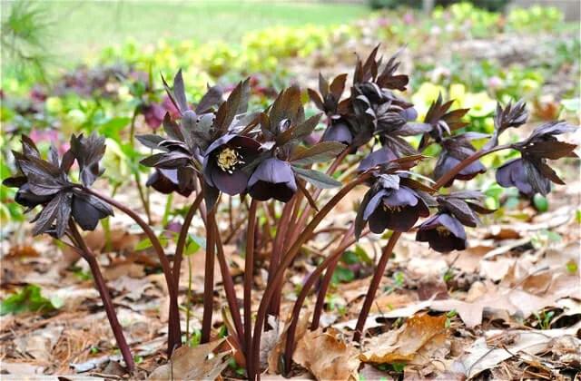 black helleborus orientalis 2