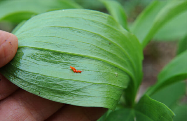 lily leaf beetle eggs