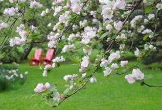 apple-blossoms-2