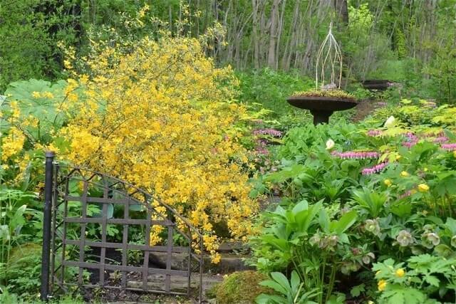 kerria japonica picta 2011