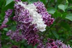 lilac-reversion