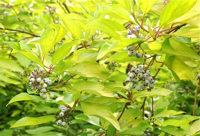 cornus sericea sunshine fruit