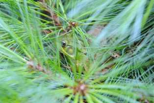 green-frog-in-pine