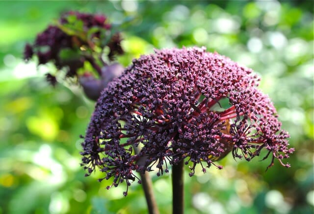 angelica gigas detail