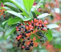 sentimental shrub: viburnum sieboldii