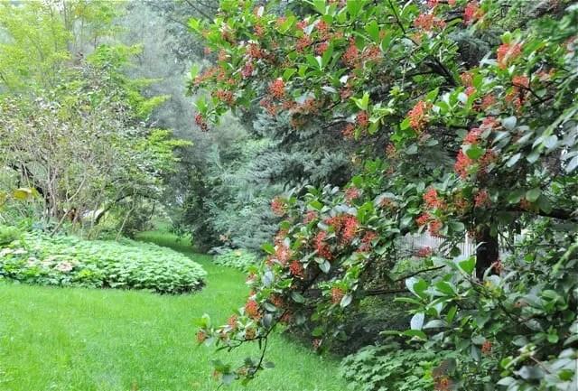 viburnum sieboldii in fruit