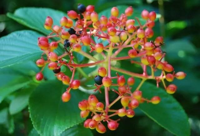 viburnum sieboldii2