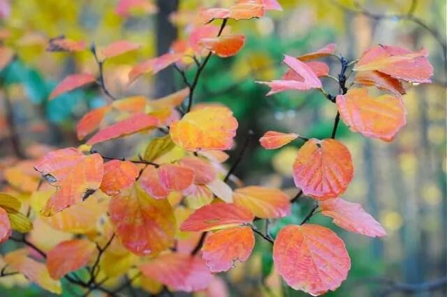 fothergilla leaves fall
