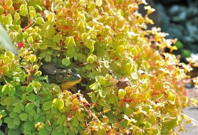 frog hidden in oxalis pot