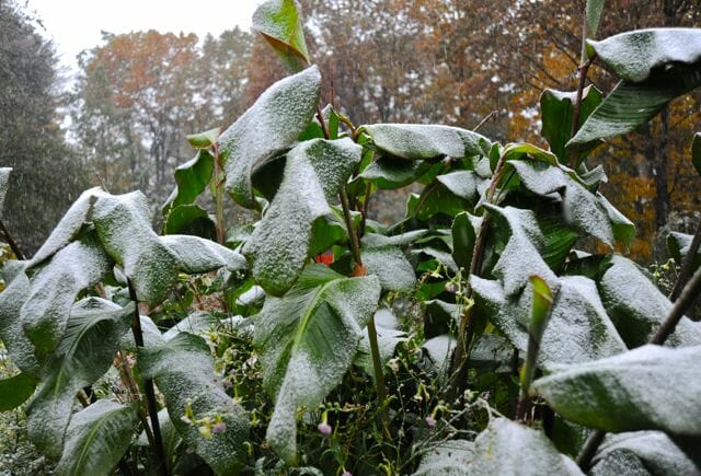 cannas-with-snow
