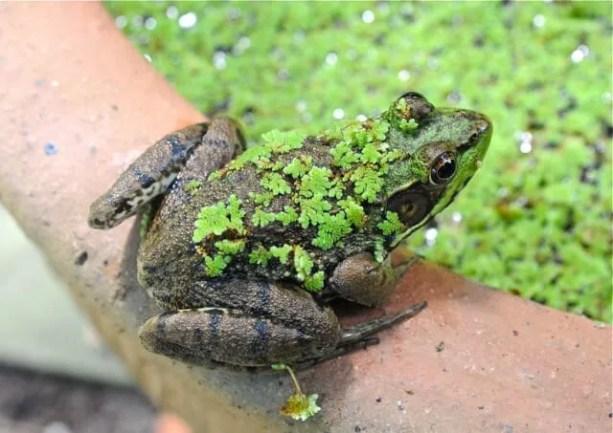 flocked-frog-2