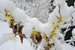 hamamelis-in-snow