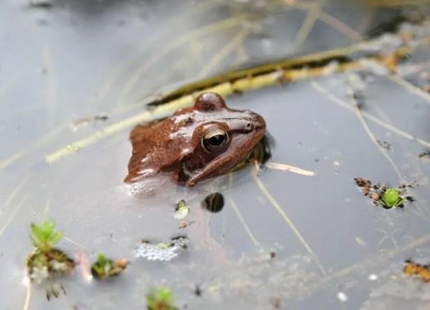 female-wood-frog