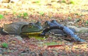 two-bullfrogs-floating-on-heater