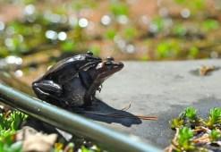 wood-frog-amplexus-2012
