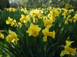 a-crowd-a-host-of-golden-daffodils-in-the-lawn-in-april-904ca3fa664b8b22b5a53006ddfaff267c8d9af2