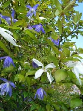 april-magnolia-and-clematis-macropetala-wesselton-bbe04f165a5a48b7e3665594f5ec736796e12835