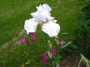 flower3whiteiris-21822a4e4315500b9847f844202781ba65f74bdd