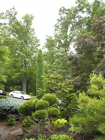 juniperus-communis-compacta-1537b09cfed9fa7136a81df48480ad08814c65d8