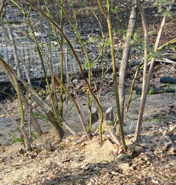highbush blueberry after pruning, by Lee Reich