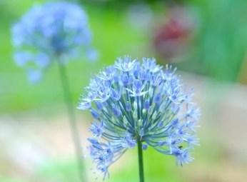 allium-caeruleum-or-azureum