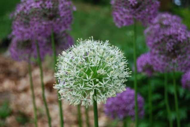 allium rosenbachianum and 'Album' form