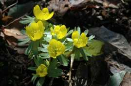eranthis-winter-aconite.jpg