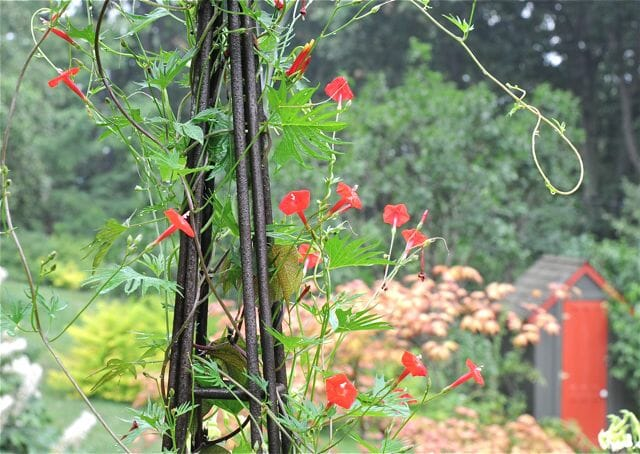 Cardinal Climber And Its Cousins, Annual Vines That Are Hummingbird  Favorites   A Way To Garden