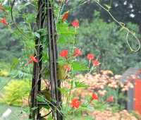cardinal climber and its cousins, annual vines that are hummingbird favorites