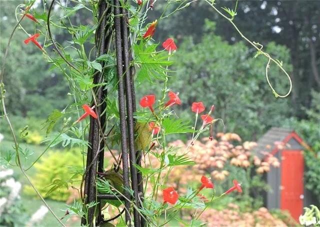 ipomoea lobata, fan dancer of an annual vine - A Way To Garden