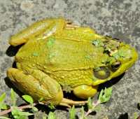 my frog prince: 'duckweed is the new black'