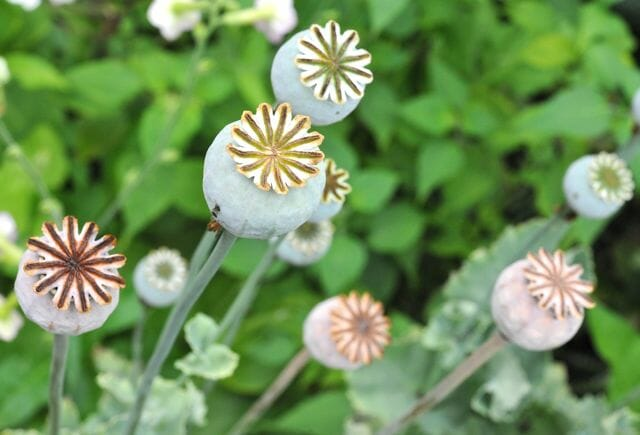 An easy annual poppy papaver somniferum a way to garden an easy annual poppy papaver somniferum mightylinksfo