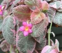 a flashy episcia hybrid, my showiest houseplant