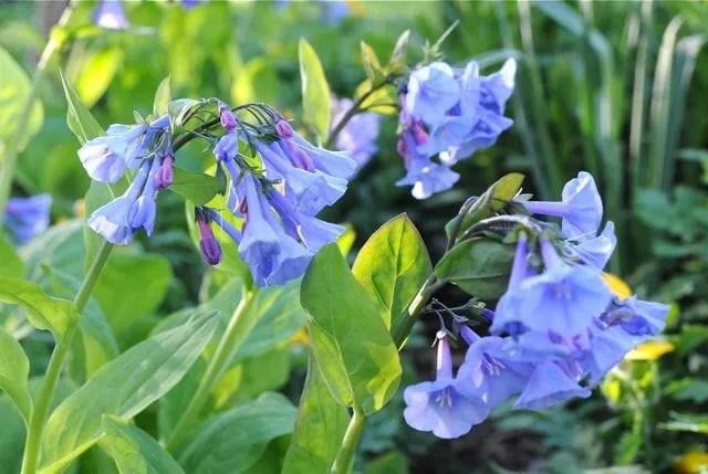 Image result for virginia bluebells