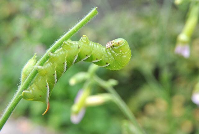 tobacco hornworm on nicotiana