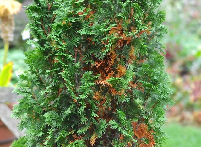 Inner foliage of conifer browning
