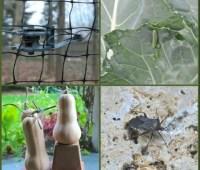 fall pest patrol: work now to foil deer, cabbage worms, viburnum beetle, squash bugs, voles