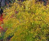 spiraea 'ogon,' extra-early and late-fall star