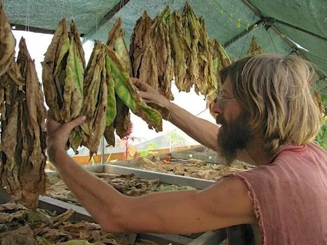 curing tobacco with daggawalla's kollibri
